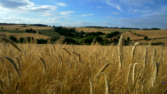 travel shot, golden rye ears in rolling rural landscape