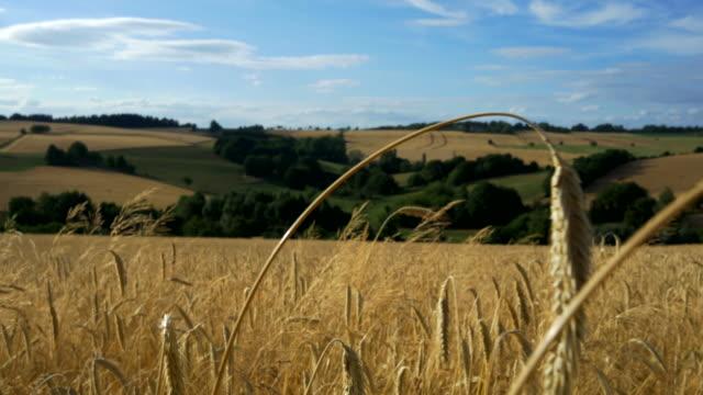 travel shot, golden rye field against rolling landscape - 穀物 ライムギ点の映像素材/bロール