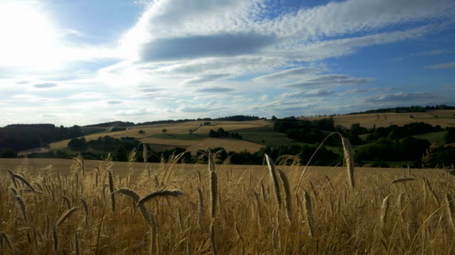 travel shot, golden stalks of rye ears in rolling landscape