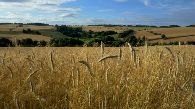 travel shot, stalks of golden rye ears in uprising landscape - 穀物 ライムギ点の映像素材/bロール
