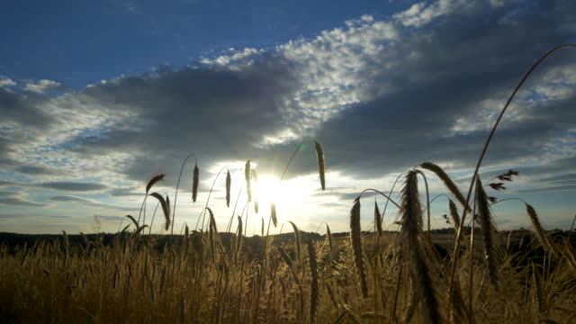 travel shot, stalks of rye ears against evening sun