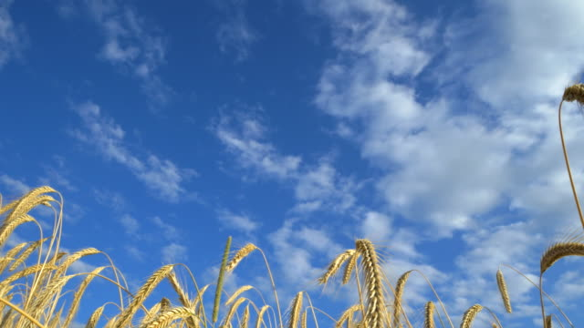 travel shot, stalks of rye ears in blue summer sky