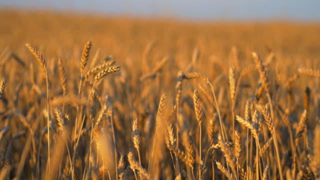 travel shot, stalks of sunlit golden wheat ears - weizen stock-videos und b-roll-filmmaterial