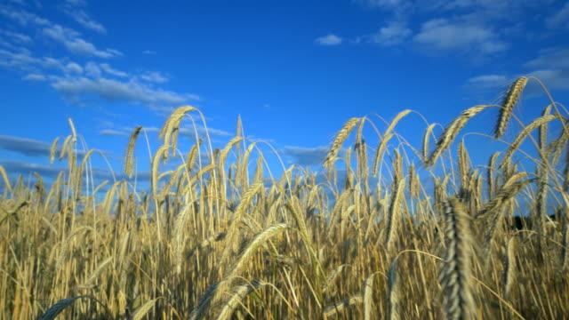 travel shot, stalks of sunlit rye ears in blue sky