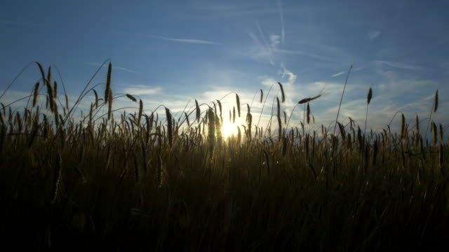 travel shot, sun shines through stalks of rye ears
