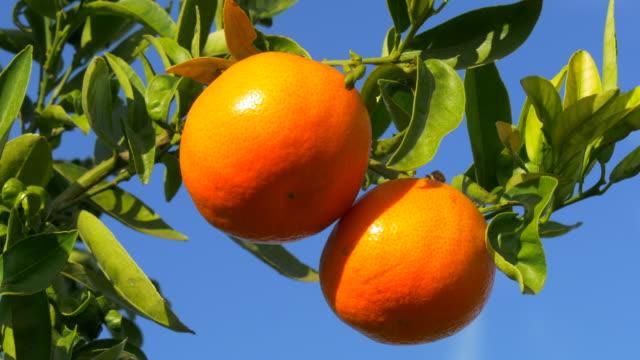 travel shot, sunlight on ripe mandarines and leaves against blue sky