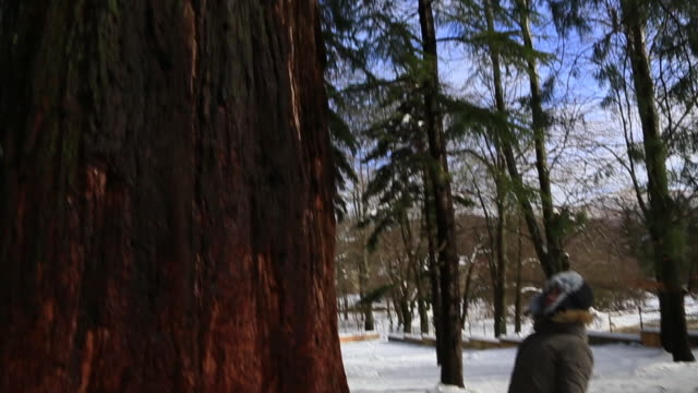 Traveler woman contemplating huge big sequoia in the nature during winter time and snow landscape.