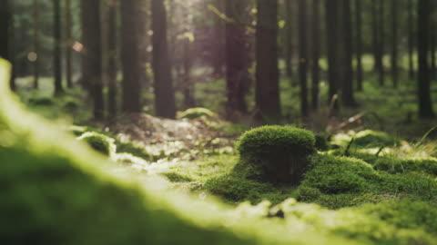 wanderer wandern an einem herbsttag durch einen pinienwald - moos stock-videos und b-roll-filmmaterial