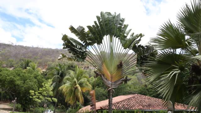stockvideo's en b-roll-footage met traveller's palm in the garden of instituto terra at the beginning of the raining season, on november 22, 2019 in aimorés, brazil. twenty years ago,... - handpalm