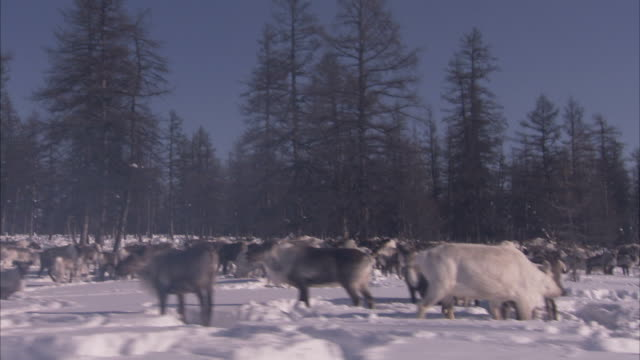 vidéos et rushes de travelling past a large herd of reindeer in snowy a forest clearing. available in hd. - caribou