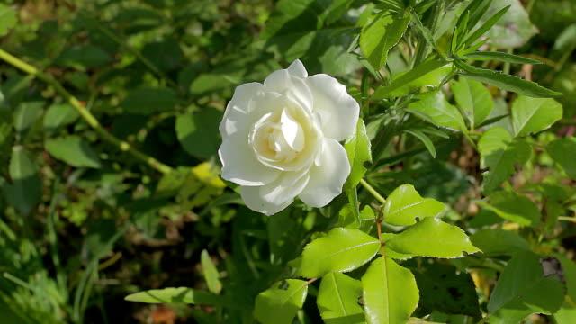 Reisen-Rose