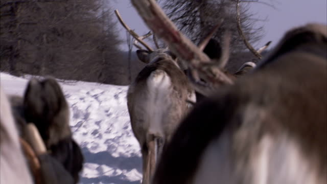 travelling through a snowy landscape on a sledge pulled by reindeer. available in hd - pulling stock videos & royalty-free footage
