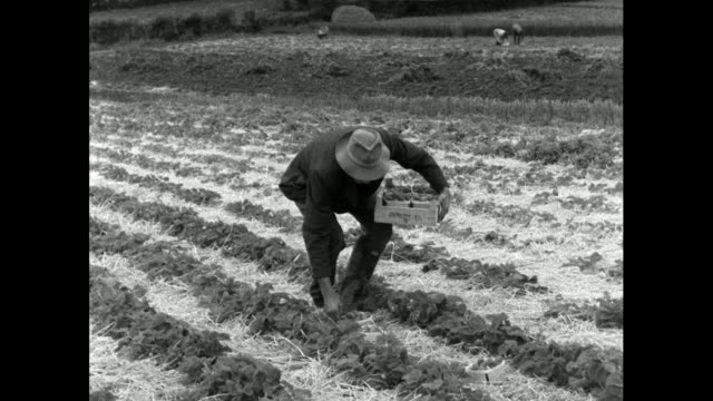 trays of strawberries carried in from field; 1956 - natural condition stock videos & royalty-free footage