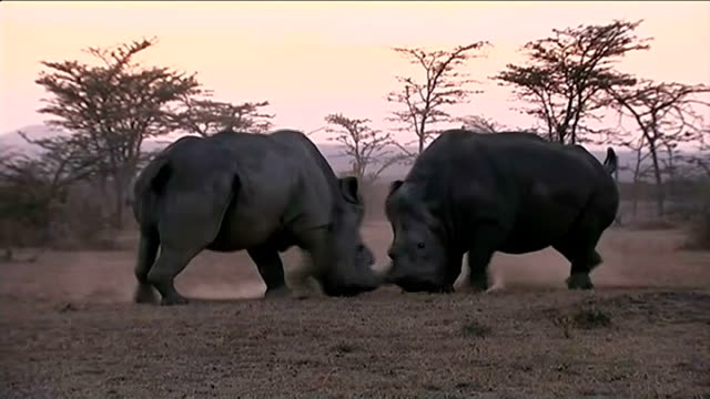 IVF treatment may be last hope in saving the Northern White Rhino KENYA EXT Male Northern White Rhinoceros along Northern White Rhino Male Northern...