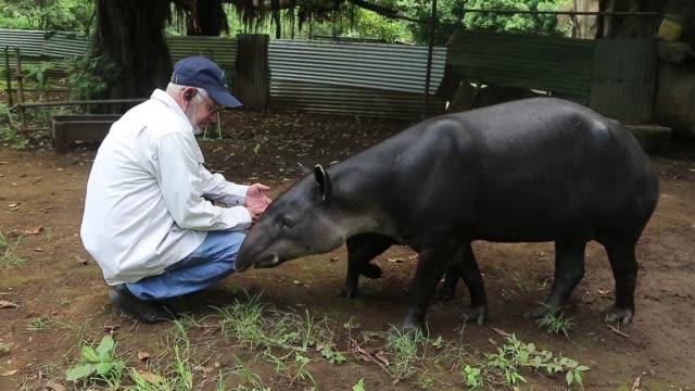 stockvideo's en b-roll-footage met trece tapires nacidos en cautiverio descansan tranquilos en medio de la maleza en un zoologico de nicaragua lejos del peligro que su especie vive en... - midden amerika