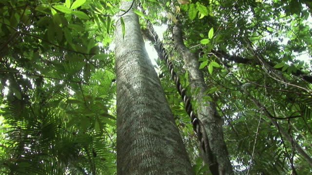 la td cu tree and vine hanging down, cape tribulation, tropical north queensland, australia - north stock videos and b-roll footage