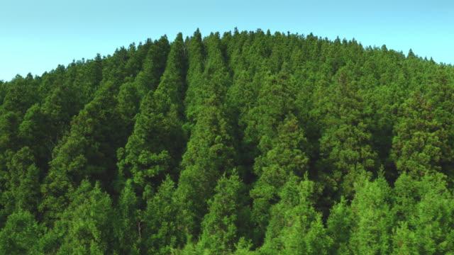 tree area of geomun oreum (parasitic volcano) / jeju-do island, south korea - cedar stock videos & royalty-free footage