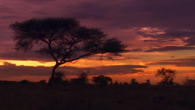 tree at sunset - acacia tree stock videos & royalty-free footage
