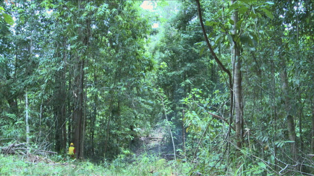 ws tree being cut down / kota marudu, sabah, malaysia   - reforestation stock videos and b-roll footage