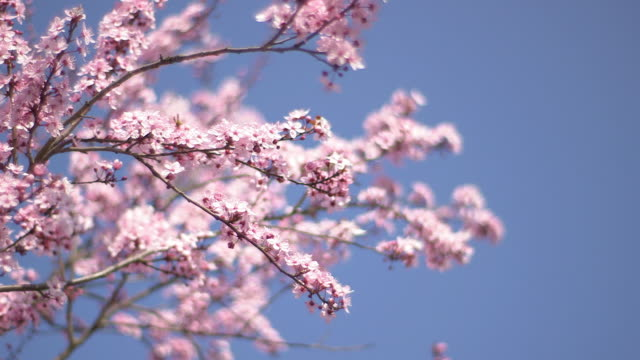 tree blossoms swaying in wind, blue sky, close - bare tree stock-videos und b-roll-filmmaterial