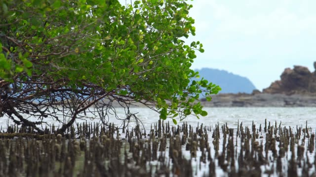 tree branch in mangrove forest. - mangrove forest stock videos & royalty-free footage