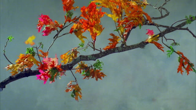 cu tree branch with colored leaves shaking and falling as wind blows / canyon lake, texas, usa - canyon lake stock videos & royalty-free footage