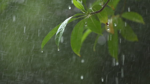 vídeos de stock e filmes b-roll de a tree branch with flowers in the rain shooting with a slow motion camera. - chuva