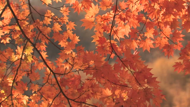 tree branches in autumn - maple leaf stock videos and b-roll footage