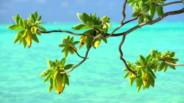 tree branches swaying by aquamarine sea bora bora - polynesian ethnicity stock videos & royalty-free footage