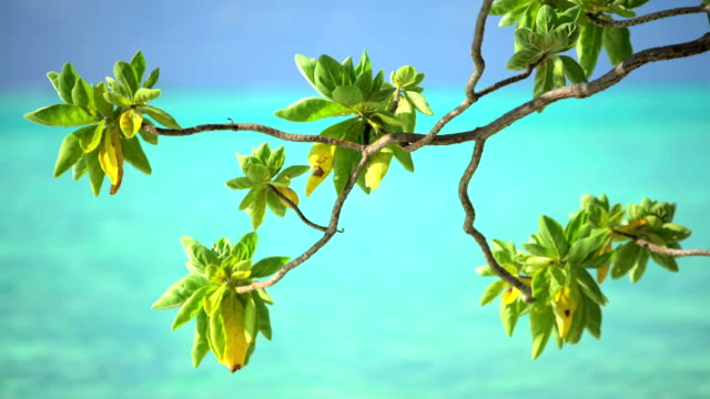 tree branches swaying by aquamarine sea bora bora - tropical tree stock videos & royalty-free footage