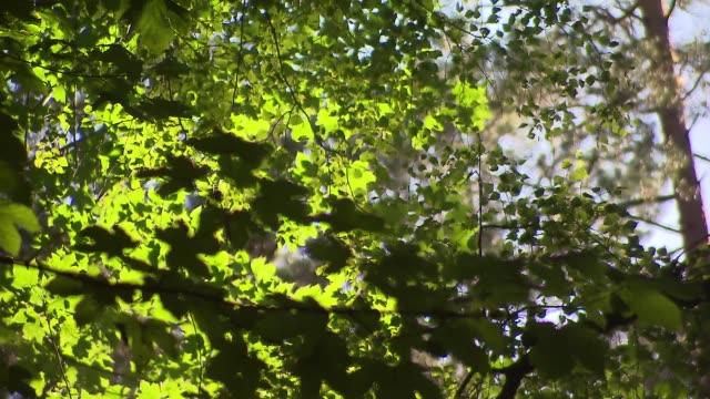 vidéos et rushes de tree branches - brindille