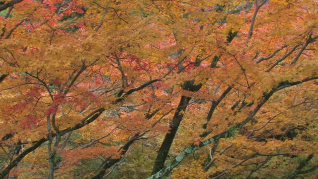 tree branches with autumn leaves - fukuoka prefecture stock videos and b-roll footage
