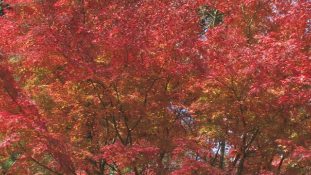 tree branches with autumn leaves - maple leaf stock videos and b-roll footage