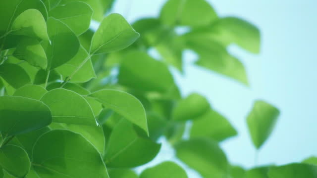 cu tree branches with green leaves - 揺れる点の映像素材/bロール