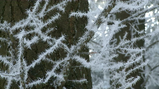 MS ZI tree branches with hoarfrost / Kastel, Rhineland-Palatinate, Germany