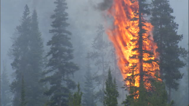 Tree burns during forest fire, Yellowstone, USA