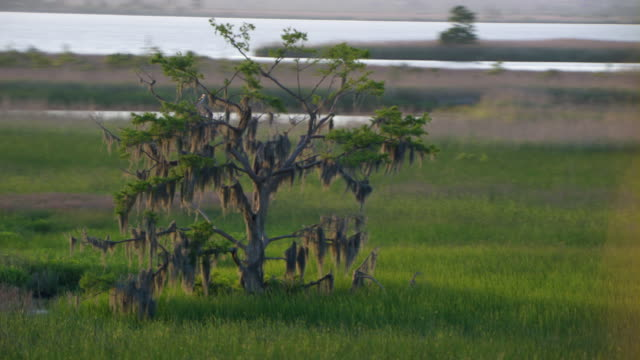 tree covered with spanish moss in alabama marsh. - epiphyte stock videos & royalty-free footage
