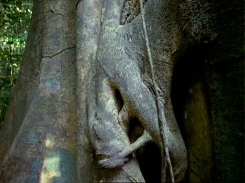 vidéos et rushes de tree (pseudobombax), cranes up roots. - plan grue