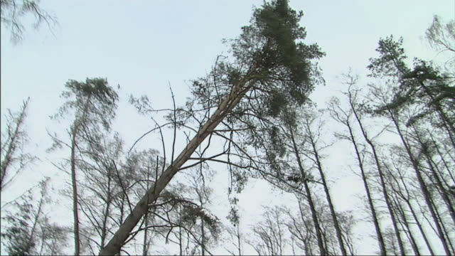 ws ts tree falling in woods / augustow, poland - moving down stock videos & royalty-free footage