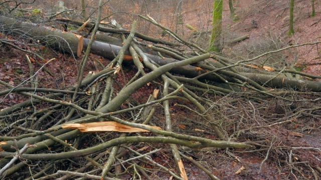 tree felling in the natural forest tabener urwald (taben primeral forest), taben-rodt, rhineland-palatinate, germany, europe - lumber industry stock videos & royalty-free footage