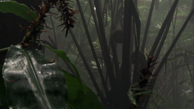 tree ferns in misty forest, hawaii - dicksonia antarctica stock videos & royalty-free footage
