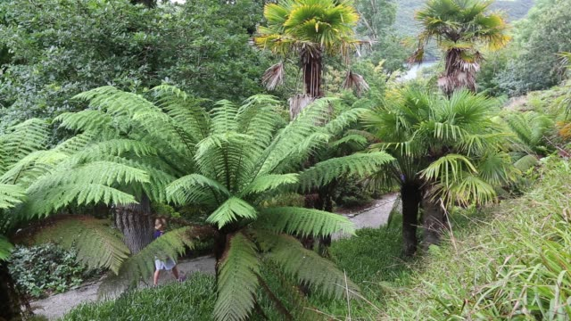 tree ferns in trelissick gardens near falmouth cornwall uk - dicksonia antarctica stock videos & royalty-free footage