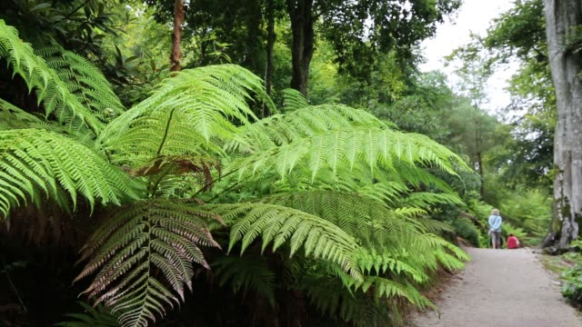 tree ferns in trelissick gardens near falmouth, cornwall, uk. - dicksonia antarctica stock videos & royalty-free footage