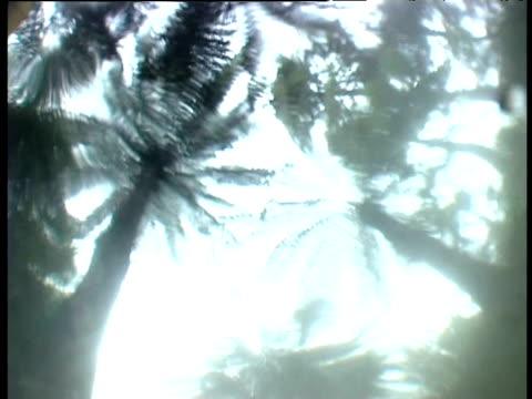 Tree ferns seen from below water of primordial swamp