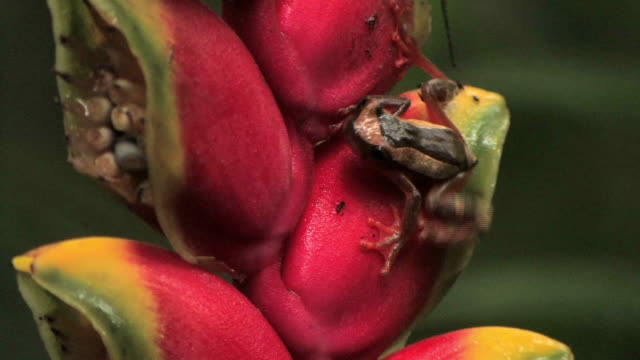 cu tree frog crawling on lobster claw heliconia flower in rainforest in manu national park / peru - heliconia stock videos & royalty-free footage