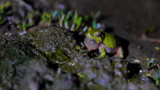 tree frog croacking on mud, gangwon province, south korea - animal abdomen stock videos and b-roll footage
