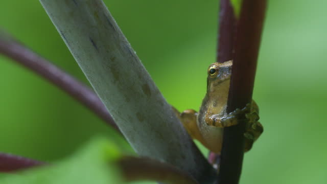 Tree frog gripping a stem, moves slightly