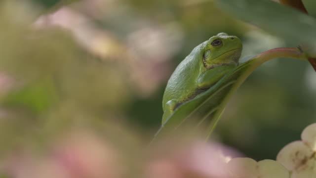 vídeos y material grabado en eventos de stock de tree frog in hydrangea - anfibio