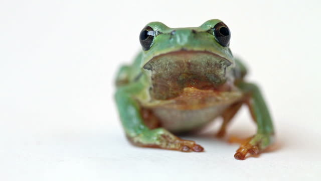 Tree Frog Jumps Away from the Screen