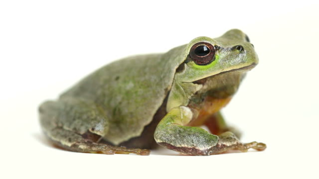 tree frog jumps away from white background - frog stock videos and b-roll footage